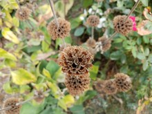 Dried Brown Flower On Plant With Green Leaves