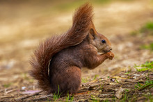 A Red European Squirrel Sits At The Ground In A Forest And Eats A Nut In Front Of A Soft Background With Beautiful Bokeh.