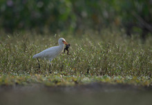 The Egret With Frog Hunt