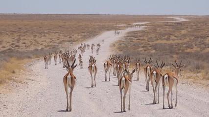 Springbok gazelle antelope ...