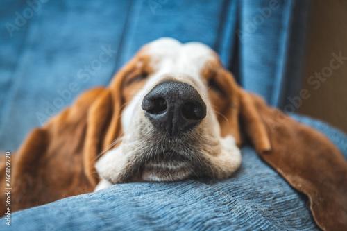 Leinwand Poster  Sleeping Basset Hound white and brown on sofa