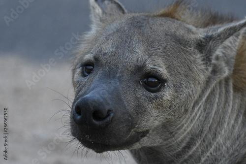 Photo sur Toile Hyène Hyènes tachetées