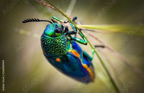 Leinwand Poster Jewel beetle in field macro shot