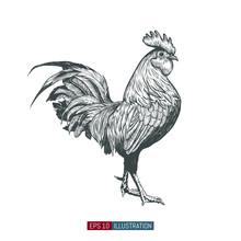 Hand Drawn Rooster Isolated. E...
