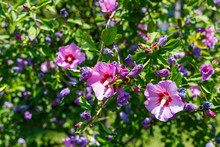 Shrub Of Hibiscus With Violet Flowers On Green Foliage