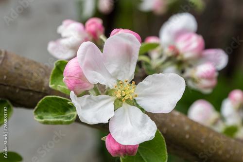 Fototapeta Apple branch in a beautiful blooming. obraz na płótnie