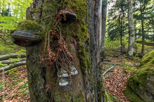 Obraz na plátne Champignon polypore dans la forêt
