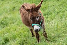 Cute Donkey On Green Grass Spring Field
