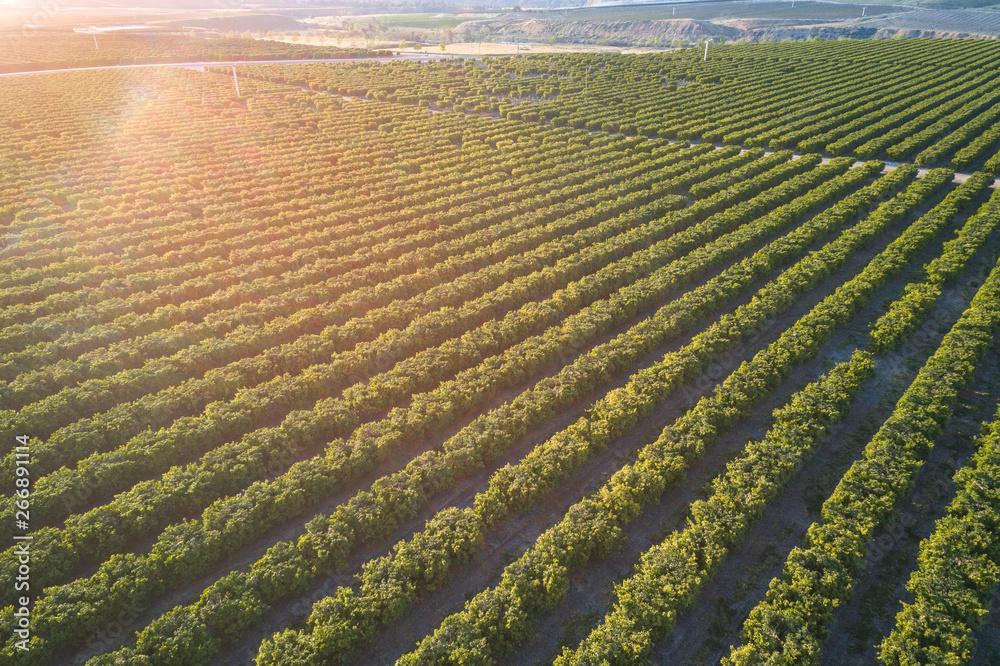 Fototapety, obrazy: Olive Plantation in Bakersfield, California.