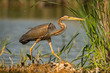 Purple heron (Ardea purpurea) in hatural habitat.