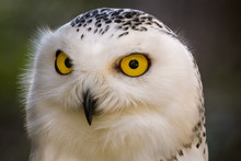 Closeup Portrait Of A Snowy Owl
