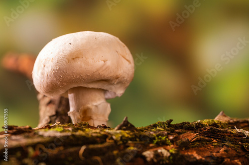 Obraz na plátně  Paris mushroom growing on tree