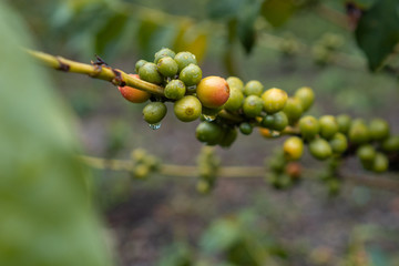 Close Up Of Cherry Coffee B...