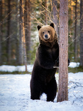 The Brown Bear Stands On Its Hind Legs Against A Tree
