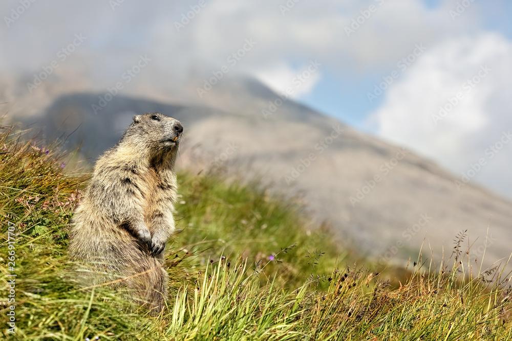 Fototapety, obrazy: Alpine marmot, Marmota marmota, Großglockner, Austria, Europe, xxl+more: bartussek.xmstore