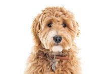 Golden Labradoodle Dog Isolated On White Background