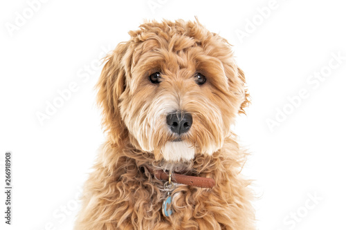 Photographie Golden Labradoodle dog isolated on white background