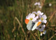 A Male Orange Tip Butterfly La...