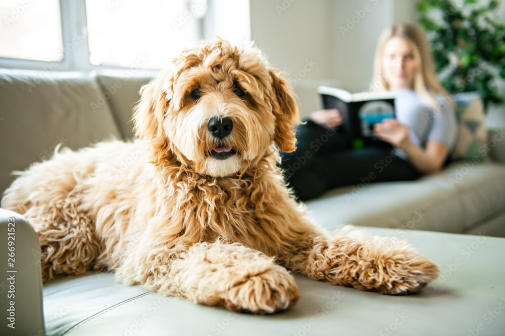 Fototapety, obrazy: woman with his Golden Labradoodle dog reading at home