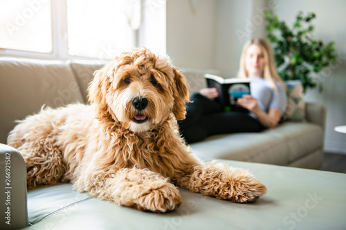 woman with his Golden Labradoodle dog reading at home Canvas Print