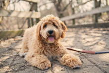 Golden Labradoodle Dog Outside...
