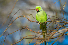 Wild Ring-necked Parakeet In A...