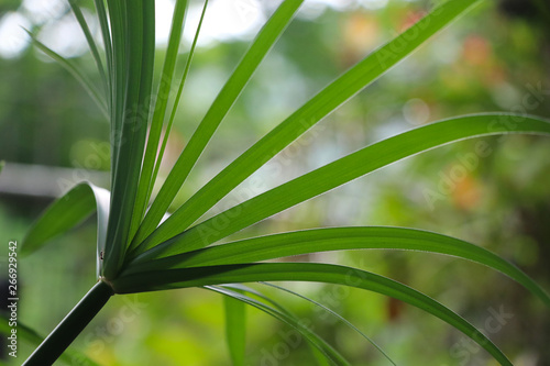 Fotografie, Obraz Nut grass with green soft color herb