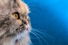 Doll Face Persian Cat Portrait