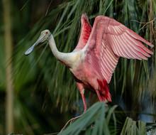 Roseate Spoonbill In Florida
