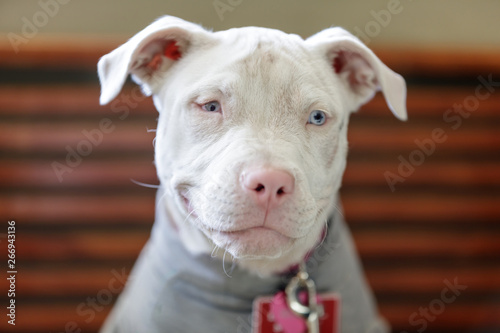 Photo  American Pit Bull Terrier female puppy head