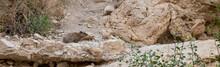 Rock Hyrax In Ein Gedi Israel