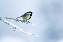Great Tit Perched On A Snow And Moss Covered Branch With A White Mottled Background.