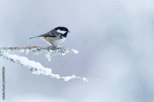 Leinwand Poster Coal Tit perched on a snow covered branch with a white mottled background