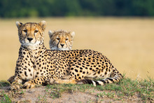 Cheetah Mother And Son Laying Together