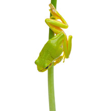 Tree Frog On A Plant