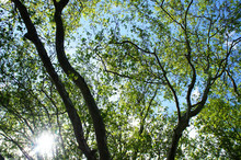 Crown Of Platanus Or Plane Trees With Sunlight And Blue Sky