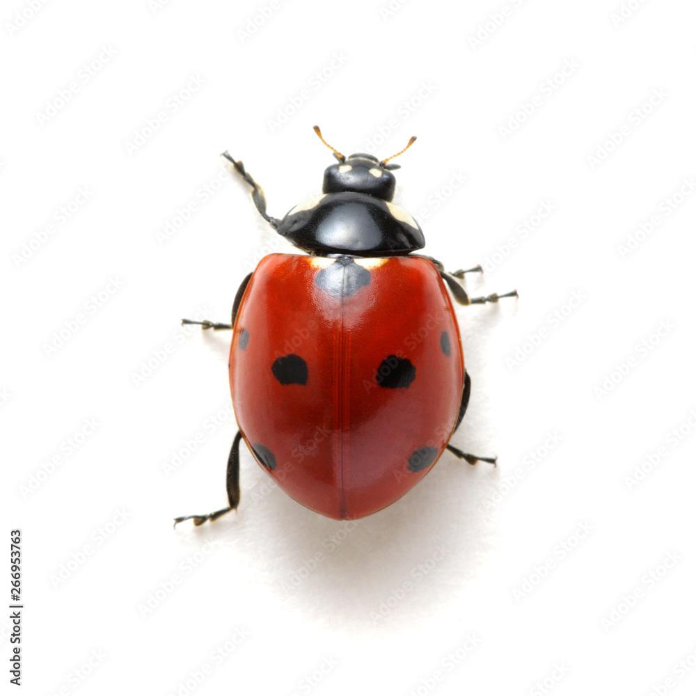Fototapety, obrazy: Ladybug isolated on white