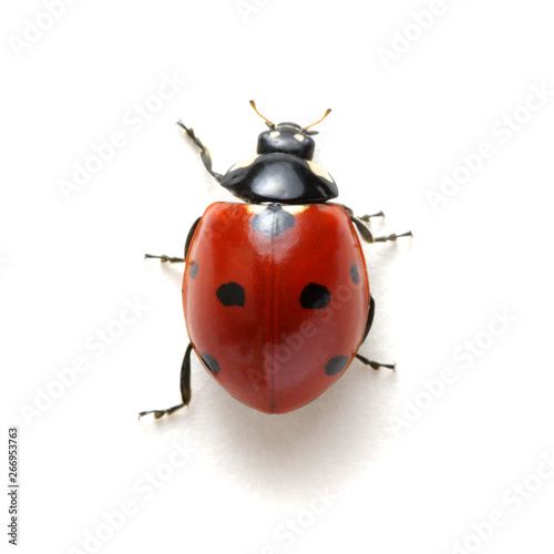 Fototapeta Ladybug isolated on white obraz