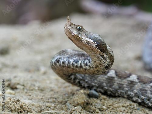 Fotografie, Obraz Nose-horned viper, Vipera ammodytes