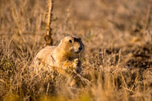 Portrait Of A Prairie Dog