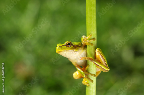Green tree frog on grass Wallpaper Mural