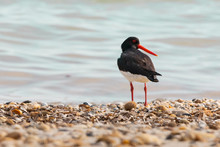 Eurasian (common Pied) Oystercatcher Standing By The Sea In Rodopi, Greece
