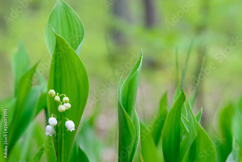 Poster Muguet de mai Lily of the valley, Convallaria majalis white flowers imacro