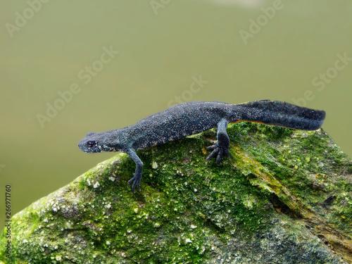 Fotografie, Obraz Balkan crested newt or Buresch's crested newt Triturus ivanbureschi