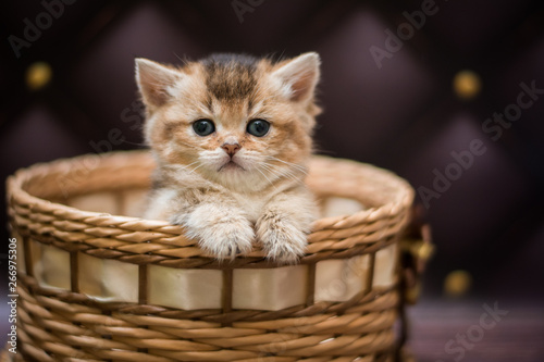 Cadres-photo bureau Chat kitten scottish british cat burma munchkin animals
