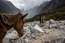 Donkeys Walk Down A Mountain Valley