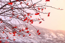 Snow-covered Rowan Berries. La...