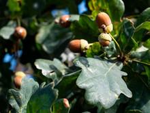 Close Up On Acorns On Oak Tree