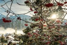 Sunburst On Red Berries Covere...