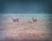Two Roe Deer In Meadow At Dawn.